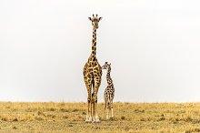 Giraffe - Love and Trust