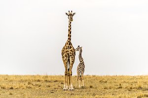 Giraffe - Love and Trust