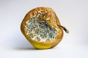 A rotten apple covered with mold.