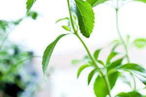 Stevia Plant - Natural Sweetener