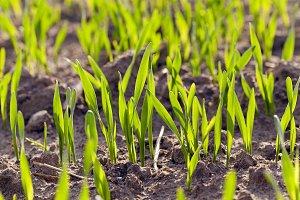 green cereals . spring
