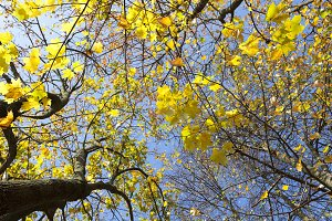 yellow maple leaves on a tree agains