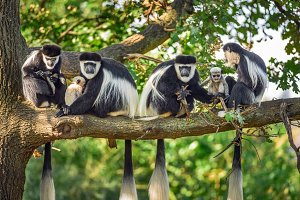 A troop of Mantled guereza monkeys with two newborns