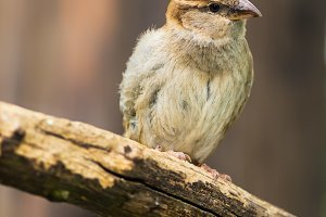 Portrait of female house sparrow