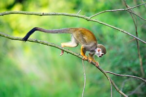 Common squirrel monkey walking on a tree branch