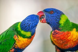Two rainbow lorikeets exchanging food