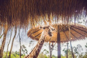 Portrait of a giraffe against a thatched roof