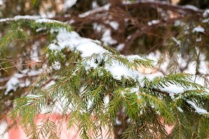 Close-up of a branch of a green tree in snow. Winter day outside in the park.