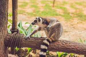 Lemur catta sits on a fence at the zoo