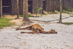 The camel died in the zoo, lies on the ground