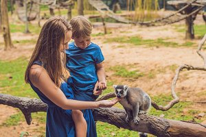 Mom and son are fed Ring-tailed lemur - Lemur catta. Beauty in nature. Petting zoo concept