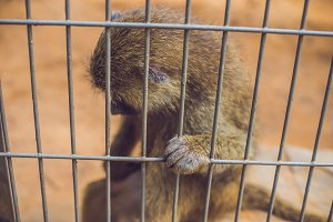 A sad monkey locked in a cage as a prisoner