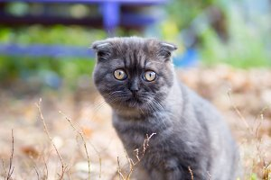 Scottish fold cat or kitten