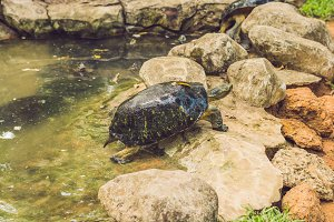 A huge tortoise resting in the park by the pond