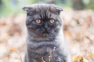 cute Scottish fold kitten smoky