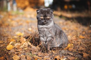Scottish fold cat walking