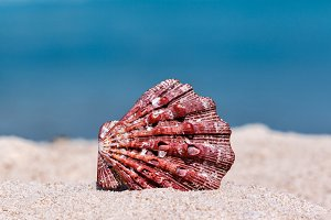Red Seashell On The Summer Beach