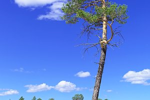 Tall pine tree on a background of bright blue sky, Siberian landscape