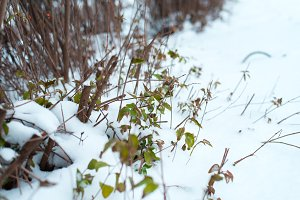 Close-up of green bushes. The first snow fell on the leaves in winter. Grass covered with snow in the park.