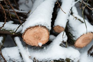 Firewood in woods covered with snow. In winter, a close-up of sawed trees.