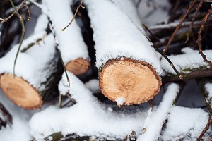 Firewood in woods covered with snow. In winter, close-up of sawed trees.