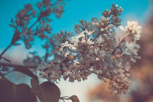 Flowering branch of white lilac