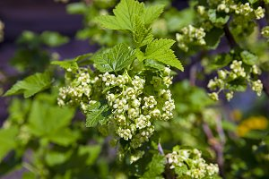 currant blossoming