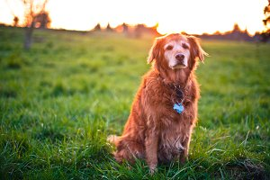 Golden Retriever in Field at Sunset