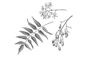Neem Black & White Illustration