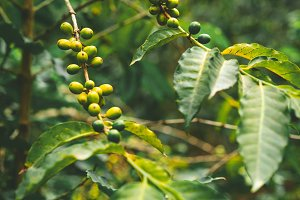 Cultivated local coffe plantage. Branch with green coffee beans and foliage. Santo Antao Island, Cape Verde