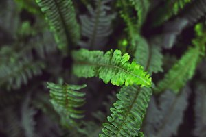 Green branches of the fern
