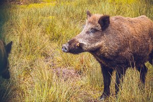 Brown wild boar stands in field