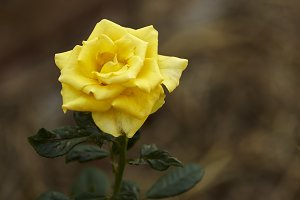 Beautiful yellow rose flower