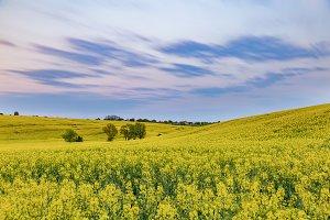 Oilseed rape fields on sunny day aga