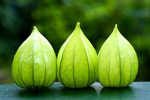 three green physalis flowers on the  garden background
