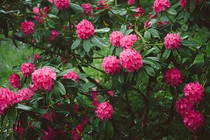 photo of bright pink Rhododendron