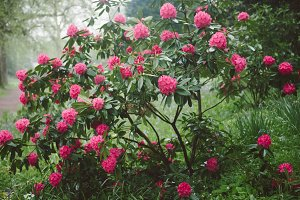 3 photos of Rhododendron