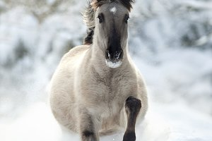 Wild looking horse runs free in snow