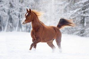chestnut arabian horse in snow