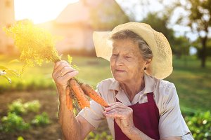 Senior woman harvesting carrots