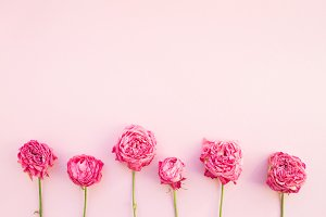 Dry roses on pink background