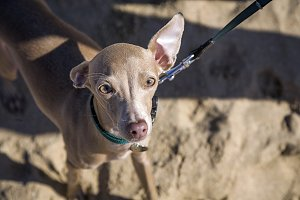 Italian greyhound dog on the beach