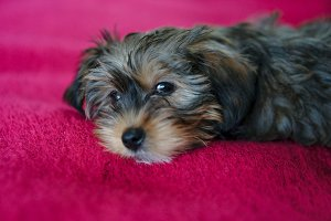Puppy on red blanket