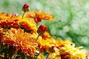 Yellow flowers chrysanthemums