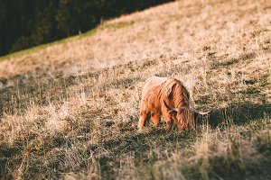 Highland cow with brown long hair