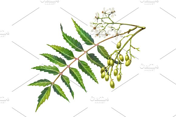 Neem Color Pencil Illustration