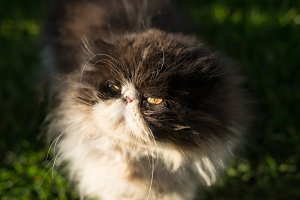 Portrait of Persian cat outdoors.