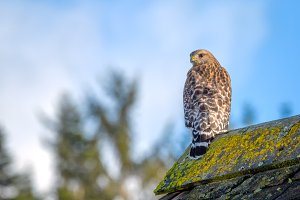 Red-Shouldered Hawk on a Barn
