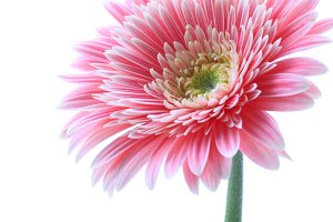 gerbera flower isolated
