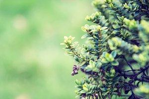 Spring (tree)